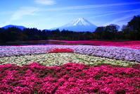 令和元年5月の富士(18)本栖湖リゾートの芝桜と富士 - 富士への散歩道 ~撮影記~