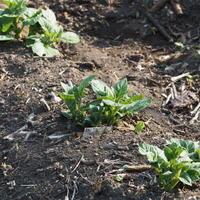 我が家の畑にも - sola og planta ハーバリストの作業小屋