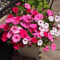 初夏の寄せ植え - sola og planta ハーバリストの作業小屋