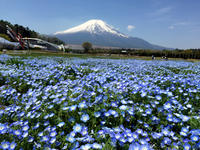 富士山とネモフィラ♪ - うひひなまいにち