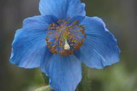 ヒマラヤの青いケシ。ウツギの花4種 - 子猫の迷い道Ⅱ