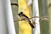 掛け軸のような写りで・・・サンコウチョウのメスさん - 鳥と共に日々是好日
