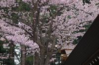 開拓神社と桜令和元年5.1 - 夢風 御朱印日記