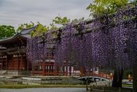 平等院の藤とつつじ - 鏡花水月