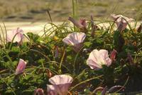 海岸の花 - 白鳥賛歌