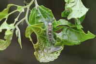 雑木林で幼虫を探してみる - 蝶超天国