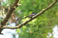 尾羽が短く見えるサンコウチョウ - 近隣の野鳥を探して