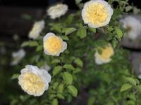 """屋上のバラたち - 屋上庭園 """"Giardino di Luce"""""""