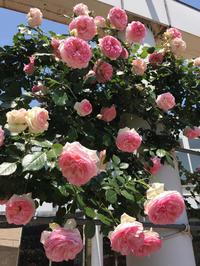 薔薇で癒しのひととき。 - るなとゆずと * 私の時間 ♪