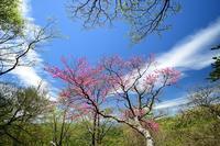 青空のアケボノツツジ - 峰さんの山あるき