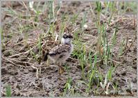 ケリの雛を見付けた - 野鳥の素顔 <野鳥と日々の出来事>