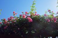 蟻よバラを登りつめても陽が遠い 篠原鳳作 - 丙丙凡凡(蛙声diary)