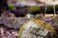 外来種 ソウシチョウ - azure 自然散策 ~自然・季節・野鳥~