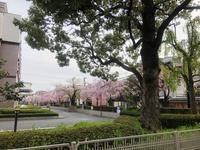 2019京都桜ツアー<京都地方裁判所>、そして大阪もね。 - y's 通信 ~季節を彩る風物詩~