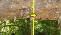 テングチョウ蛹 - 秩父の蝶