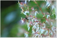 ユキノシタの群生 - ハチミツの海を渡る風の音