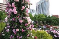 横浜ローズウィーク-山下公園 『未来のバラ園』- - 野だてnote