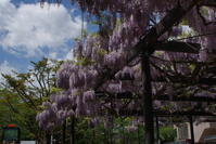 藤の花の季節 - nshima.blog