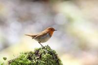 コマドリ明るい背景 - 気まぐれ野鳥写真