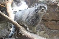 上野動物園のマヌルネコ「ユス&ナイマ」~プリームラがやって来るニャア!ニャア!ニャア! - 続々・動物園ありマス。