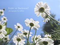 Chamomile - Light or Darkness?