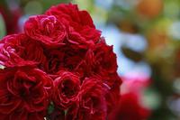 横浜イングリッシュガーデンはバラの迷路で迷子になってしまいそう - meの写真はザンス