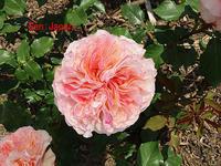薔薇:sen せん - 写真で楽しんでます!