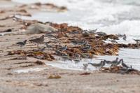 キアシシギの群れ - ひとり野鳥の会