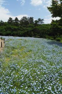 ネモフィラ…昭和記念公園 - Taro's Photo
