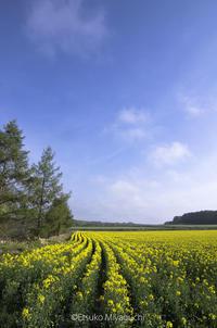 安平町の菜の花畑 - ekkoの --- four seasons --- 北海道