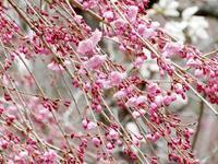 祭のあとさき * avant et après la fête des fleurs de cerisier - ももさへづり*うた暦*Cent Chants d' une Chouette