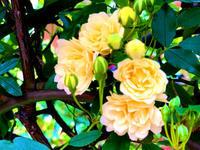 薔薇の季節 - 佑美帖