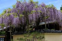 春の花々(當麻寺塔頭宗胤院・千佛院) - 花景色-K.W.C. PhotoBlog