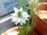 ☆ニゲラの花が咲きました☆ - ガジャのねーさんの  空をみあげて☆ Hazle cucu ☆