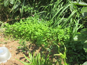 朝早くの草取り作業!シラン、紫のペンタスがきれい。26日はお休み。 -