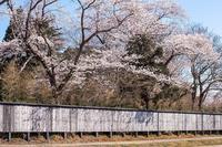 塀の向こうに桜が咲いたってねえ、へえ~ - Charlie's Scrap Book 日々是好日たわごと