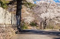 とある神社の桜 - Charlie's Scrap Book 日々是好日たわごと