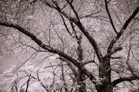 Monochrome平成最後の桜 - Charlie's Scrap Book 日々是好日たわごと