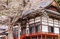 福島県のあるお寺の桜 - Charlie's Scrap Book 日々是好日たわごと