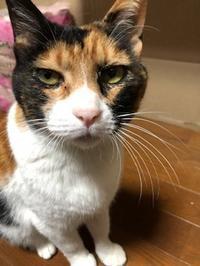 みけ菜ちゃん譲渡会に参加!!(2019.5.24) - きよせ猫耳の会(旧 飼い主のいない猫を考える会)