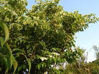 ヤマボウシ、エゴの木、ビックリグミ - 柴まみママの大多喜便り