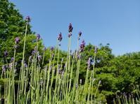 イングリッシュラベンダーが青紫色に色づき始めました - 神戸布引ハーブ園 ハーブガイド ハーブ花ごよみ