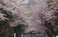 北海道神宮と円山公園の桜と梅 - 夢風 御朱印日記