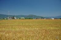 桜井市大西麦畑と三輪山 - ぶらり記録:2 奈良・大阪・・・