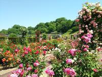 花フェスタ記念公園のバラまつり - Emily  diary