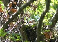 ツミの巣抱卵中②・・・八王子 - 浅川野鳥散歩