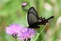 ジャコウアゲハ - 蝶と自然の物語
