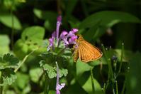 和歌山ヒメキマダラセセリ - 蝶と自然の物語