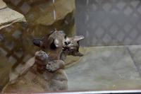 ピューマの赤ちゃん - 動物園へ行こう