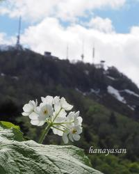 手稲山から ~ 白根葵 - こもれびの森